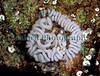 Aeolidia papillosa spawn La Valette 120502 13-565 smg
