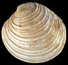 The shell of the bivalve Venus casina