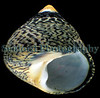 toothed topshell, Osilinus lineatus
