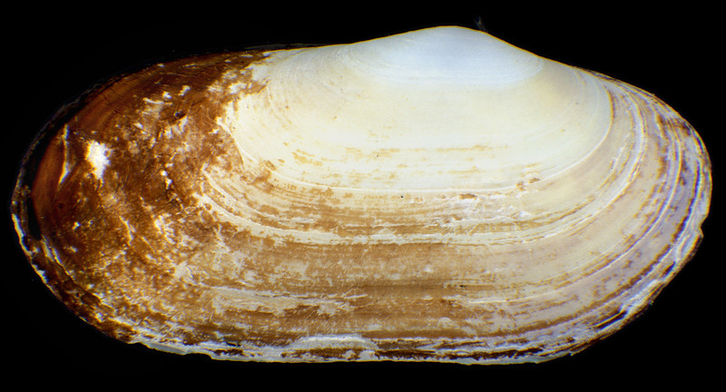 Otter shell, Lutraria angustior