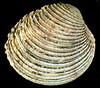 Warty venus clam, Venus verrucosa