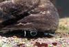 Gibbula magus cu BG 200307 29-891 smg