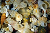 Marine gastropod shells, bivalves & foraminifera (forams) sieved from the sandy beach in Havelet Bay on Guernsey's east coast on 21 April 2003.<br /> File No. 210403 12-660<br /> ©RLLord<br /> fishifo@guernsey.net