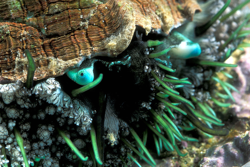 Guernsey ormer or abalone eyes and tentacles