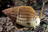 A netted dog whelk, Hinia reticulata, crawling along the Guernsey seashore on 16 April 2003.<br /> File No. 160403 21-665 <br /> ©RLLord<br /> fishinfo@guernsey.net