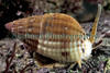 This carnivorous snail, the netted dog whelk, Hinia reticulata, is easy to find in Belle Greve Bay.  It is easiest to find low on the shore around the level of ELWS (extreme low water spring tide) gliding over the silty beaches.  It can also be found in Belle Greve Bay's shallow tide pools that have a gravel and muddy bottom. Photographed on 16 April 2003.<br /> File No. 21-665<br /> ©RLLord<br /> fishinfo@guernsey.net