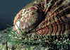 Posterior of the green abalone or Guernsey ormer, Haliotis tuberculata