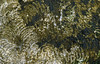Marks left by the radulae of grazing limpets, Patella vulgata, on algae growing on concrete