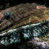 An abalone or ormer, Haliotis tuberculata, from under a boulder to the south of the Lihou Island causeway off Guernsey's west coast.<br /> File No. 34-728<br /> ©RLLord<br /> fishinfo@guernsey.net
