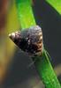 The snail Jujubinus striatus grazing on eel grass in Belle Greve Bay