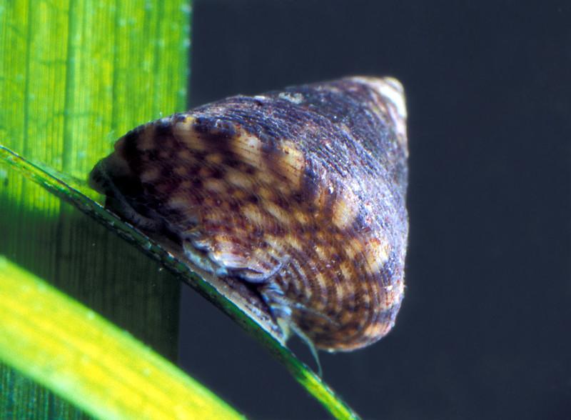Jujubinus striatus on eel grass in Belle Greve Bay