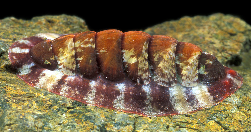This chiton, Callochiton septemvalvis, with a length of 25 mm was found under a boulder near Quaine rock in Belle Greve Bay on Guernsey's east coast on 3 March 2006<br /> File No. 030306 32-818 <br /> ©RLLord<br /> fishinfo@guernsey.net