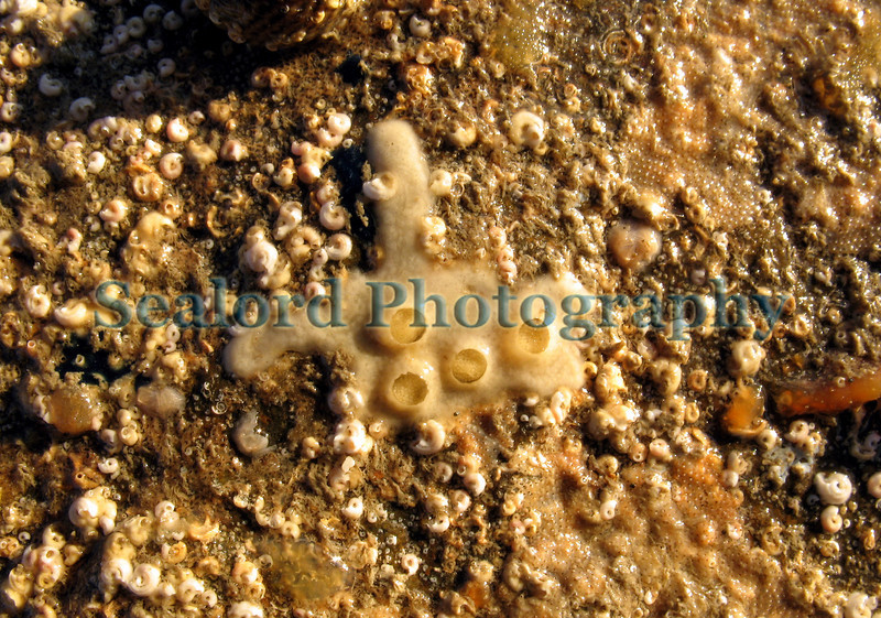 Lamellaria perspicua egg chambers excavated from compound ascidians