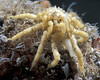Two sea spiders, Pycnogonum littorale, mating.  They were collected from a Clive Brown crab pot off Guernsey's south coast on 11 September 2004. They move over the surface of a large solitary ascidian which was attached to the crab pot netting.<br /> File No. 24-751<br /> ©RLLord<br /> fishinfo@guernsey.net