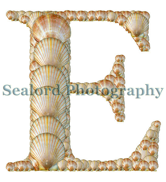 A montage in the shape of the letter 'E' of two queen scallop shells, Chlamys opercularis, also known as Aequipecten opercularis, from Guernsey.