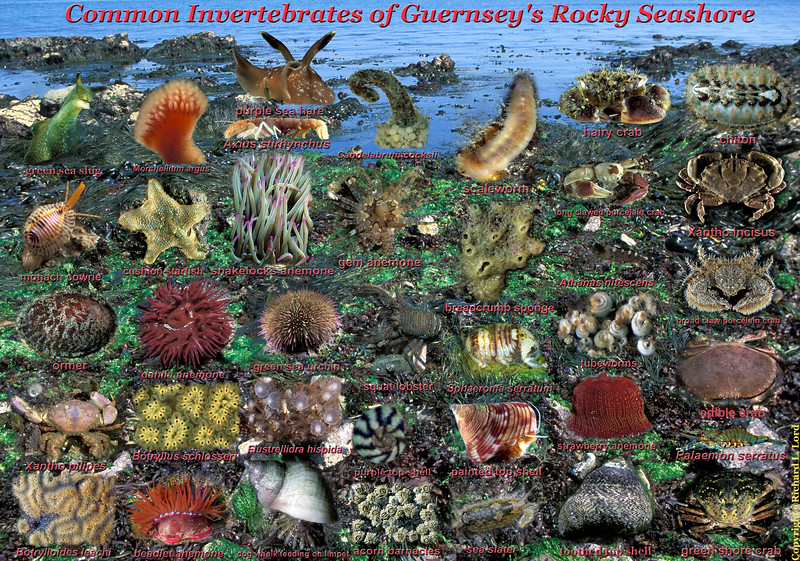 An A3 sized poster (about 40 x 28 cm) created at 300 dpi of some of Guernsey's rocky seashore invertebrates