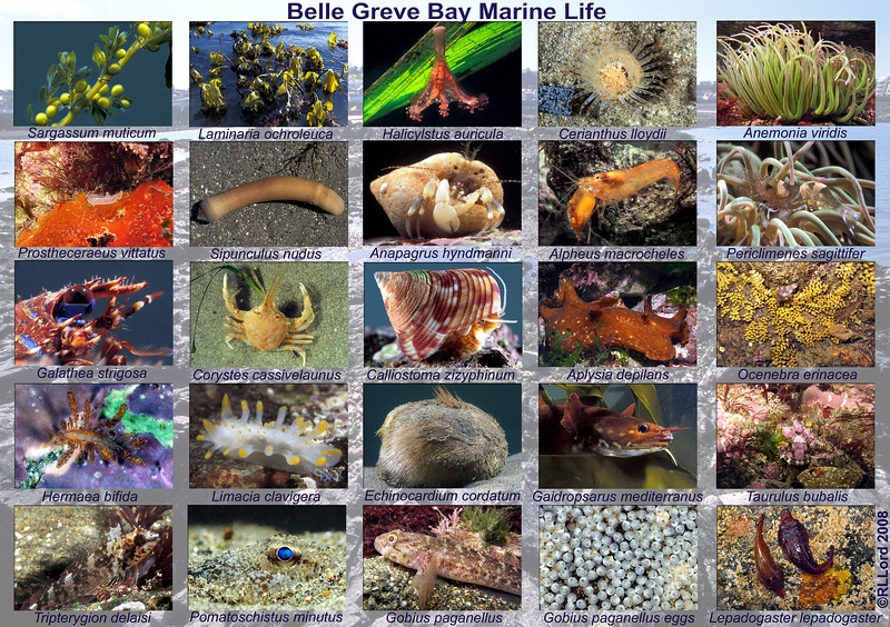 This A3-sized poster shows a few of the inter-tidal species found on the sandy and rocky shore of the southern side of Belle Greve Bay on Guernsey's east coast.  Photographs taken in 2007 and 2008.  This poster is copyright Richard L. Lord All rights reserved.  It may be downloaded and printed out for personal and educational use only.