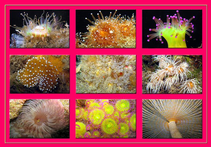 marine life growing on the pontoons of the Queen Elizabeth II marina (QE II), St. Peter Port, Guernsey, Channel Islands.<br /> Top left: Devonshire cup coral, Caryophyllia smithii<br /> Top middle and top right: jewel anemone, Corynactis viridis<br /> Middle left: sea slug, Janolus cristatus<br /> Middle: lightbulb seasquirts, Clavelina lepadiformis<br /> Middle right: anemone, Sagartia elegans<br /> Bottom left: worm, Bispira volutacornis<br /> Bottom middle: jewel anemones, Corynactis viridis<br /> Bottom right: feather duster worm, Sabella spallanzanii
