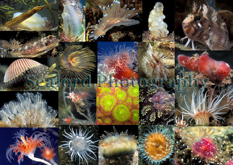 marine life found in the Queen Elizabeth II marina, St. Peter Port, Guernsey, Channel Islands, Great Britain<br /> Top row from left: great pipefish, Ciona intestinalis, Janolus cristatus, Phallusia mamillata, tompot blenny.<br /> Second row: triplefin blenny, feather duster worm, plumose anemone, Bispira volutacornis, Ascidia mentula.<br /> Below triplefin blenny: cowrie<br /> Third row: lightbulb sea squirts, Facelina bostoniensis, jewel anemones, Goniodoris castanea, orange-striped anemone.<br /> Bottom row from the left: Ectopleura larynx, Actinothoe sphyrodeta, devonshire cup coral, Sagartia elegans, jewel anemone.<br /> ©RLLord<br /> fishinfo@guernsey.net