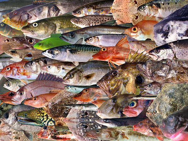 This image is a montage made of images of fifty-four species of fish found in Guernsey waters.  This montage was designed to be 20 cm x 14 cm at 300 dpi.  This montage includes an image of the first Guinean amberjack, Seriola carpenteri, caught in the British Islands. It was caught on 7 September 2000 to the east of Herm Island in the Bailiwick of Guernsey.  Another unusual species found in Guernsey waters is the European or Mediterranean moray eel, Muraena helena. Commercial species include bass, Dicentrarchus labrax; rays, Raja; breams, sparidae; flatfish such as turbot and brill, and codfishes such as pollack, Pollachius pollachius.