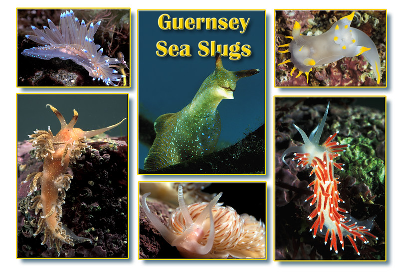 Montage of Guernsey sea slugs<br /> Top left: Janolus cristatus<br /> Top centre: Elysia viridis<br /> Top right: Polycera faeroensis<br /> Bottom left: Facelina annulicornis<br /> Bottom middle: Facelina bostoniensis<br /> Bottom right: Coryphella browni