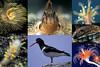 Seashore images from Guernsey, Channel Islands, Great Britain<br /> Top left: feather duster worm, Sabella spallanzanii<br /> Top middle: Montagu's blenny, Coryphoblennius galerita<br /> Top right: stalked jellyfish, Haliclystus octoradiatus<br /> Middle right: abalone, ormer, Haliotis tuberculata<br /> Bottom left: sea slug, Limacia clavigera<br /> Bottom middle: oystercatcher, Haematopus ostralegus<br /> Bottom right: hydroid, Ectopleura sp.