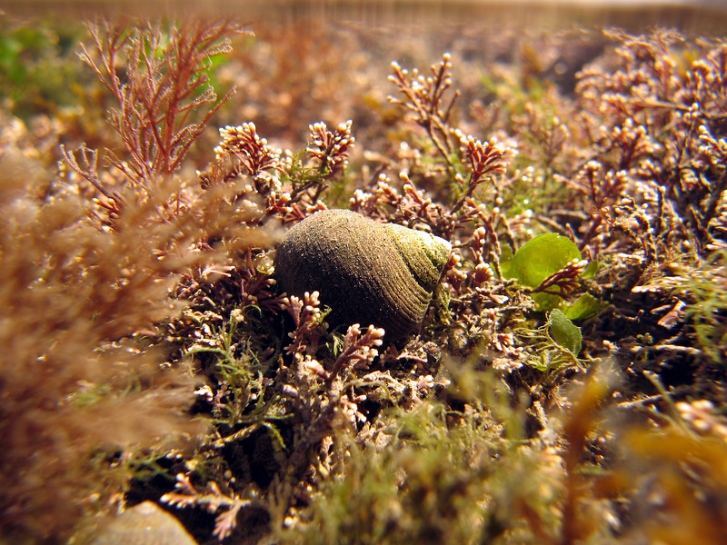 The common periwinkle is common on the shores of the UK and on the shores of France but virtually absent from the shores of Guernsey, Channel Islands.  In Guernsey the periwinkle is replaced by topshells - particularly the toothed topshell, Oselinus lineata, and the purple or flat topshell, Gibbula umbilicalis.  This is an image of a periwinkle, Littorina littorea, in a tide pool at Cullercoats north of Tynemouth on the North Sea coast of England.  Photographed on the 18 March 2007.<br /> File No. 180307 7099<br /> ©RLLord<br /> fishinfo@guernsey.net