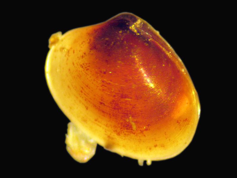 Dove Marine Lab Turtonia minuta 180307 7138 smg