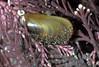 Mytilus edulis in Corallina officinalis 180307 3-888 smg