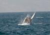 humpback flipper dance