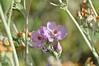 Malacothamnus flowers (a mallow.)