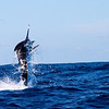 Black Marlin 675# caught and released
