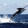700 Pound Black Marlin caught and released in Cobia, Panama