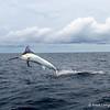 Blue Marlin 350#