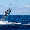 Black Marlin 650# Caught and Released