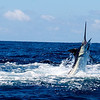 Blue Marlin caught and released