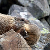 Yellow-Bellied Marmot Female carrying one of her babies in her mouth back to the den.