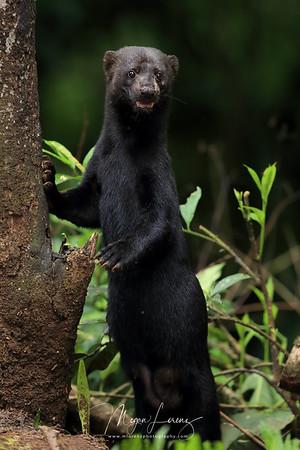 Female Tayra in Costa Rica.