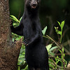 Female Tayra in Costa Rica.