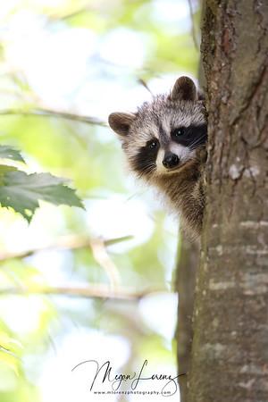 Curious Raccoon Kit in Ontario, Canada