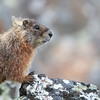 Yellow-Bellied Marmot in Yellowstone National Park, Wyoming.