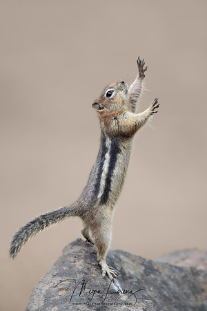 Golden-Mantled Ground Squirrel reaching up in Wyoming, U.S.A.