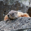Yellow-Bellied Marmot in Yellowstone National Park
