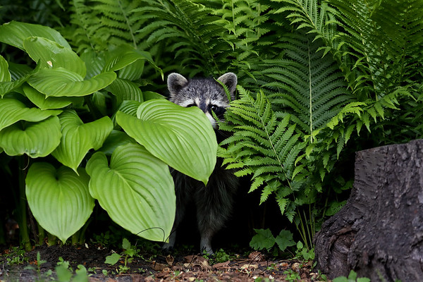 Sneaky Raccoon in Ontario, Canada