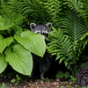Sneaky Raccoon in Ontario, Canada