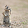 Golden-Mantled Ground Squirrel standing up after a marmot sent out an alarm call in Yellowstone National Park.