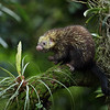 Mexican Hairy Dwarf Porcupine in Costa Rica.