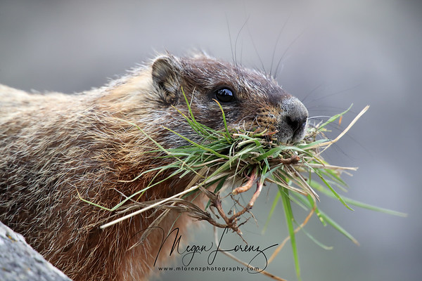 Yellow-Bellied Marmot with a mouthful of grass in Yellowstone National Park.
