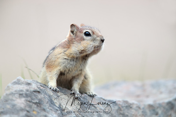 Golden-Mantled Ground Squirrel in Yellowstone National Park