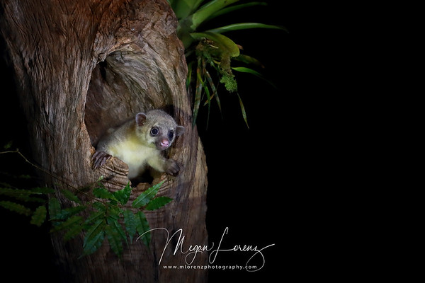 These cute little guys are a nightmare to photograph but I did my best and made the most of the rare opportunity....from a quick look through my files I managed to capture a few keepers.<br /> <br /> Kinkajou (Potos flavus) in Costa Rica.